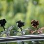 Kovácsoltvas Rózsák Antikolt